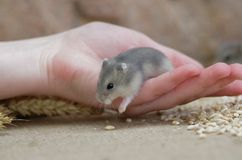 Young hamster Royalty Free Stock Photo