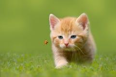 Junge Katze mit Marienkäfer auf einem grünen Feld Stockfotografie
