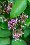 Junge Sternfruchtblumen Stockfoto