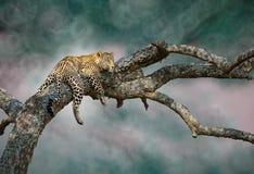 Der ausweichende Leopard Stockbilder