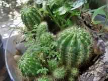 Kaktus i den glass bunken Royaltyfria Foton