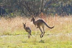 Kangaroos hopping away Stock Photo