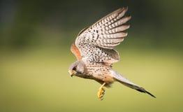 Kestrel bird of prey in flight Royalty Free Stock Photography