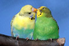 Kissing Budgie Pair Stock Images