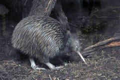 Kiwi in bush Stock Image