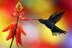 Kolibri im Flug Lizenzfreies Stockfoto
