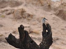 Kungsfiskare på den Chobi floden Royaltyfri Fotografi