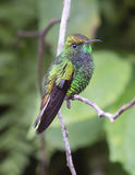 Kupferartig-köpfiger Emerald Hummingbird Stockbild