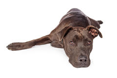 Labrador Pit Bull Crossbreed Dog Laying on White Stock Images