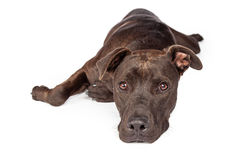 Labrador Pit Bull Dog Laying Over White Royalty Free Stock Photography