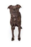 Labrador Retriever Crossbreed Dog Standing Over White Stock Images