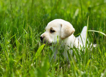 Labrador retriever puppy playing Stock Images
