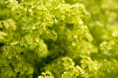 Lady's mantle in bloom. Stock Photography