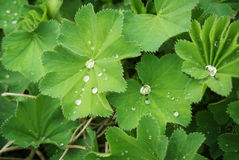 Lady's mantle, medicinal plant Royalty Free Stock Photography