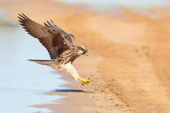 Lanner Falcon in flight landing near water Royalty Free Stock Photo