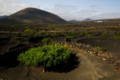 Lanzarote spain cultivation viticulture winery Stock Photography