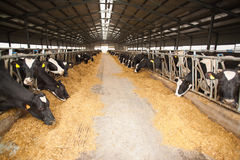 Large cow farm Royalty Free Stock Images