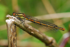 Large red damselfly Royalty Free Stock Image