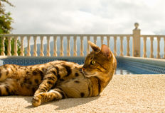 Lazy bengal cat comfortably lies near the swimming pool Stock Image