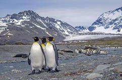 Le Roi pingouins, la Géorgie du sud Photo libre de droits