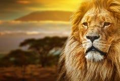 Leeuwportret op savannelandschap Stock Fotografie