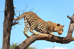 Leopard on Tree Stock Photography