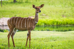 Lesser kudu from Africa Royalty Free Stock Images