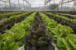 Lettuce crops Royalty Free Stock Images