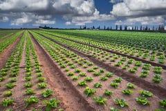 Lettuce field Royalty Free Stock Photo