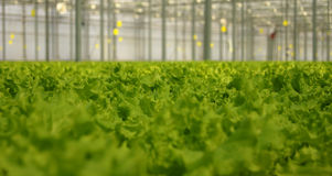 Lettuce in the greenhouse Royalty Free Stock Image