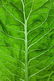 Lettuce leaf Royalty Free Stock Photography