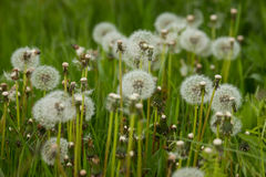 Cycle of life in world of dandelions Stock Images