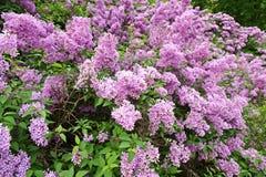 Lilac bush Stock Image