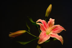 Lilly Royalty Free Stock Images