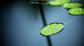 Lilly Pad Pond Stock Image