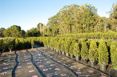 Lilly pilly nursery Royalty Free Stock Images