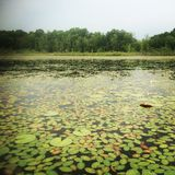 Lily Pad coverd Lake Royalty Free Stock Image