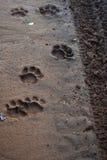 Lion paw prints Stock Photography
