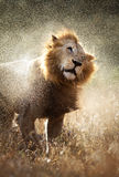 Lion shaking off water Stock Photography