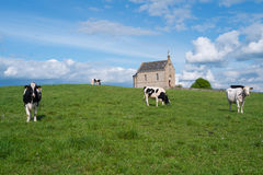 Little church with cows Stock Photo