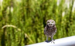Little Owl Amazed Stock Images