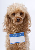 Little Poodle with Name Tag Stock Photography