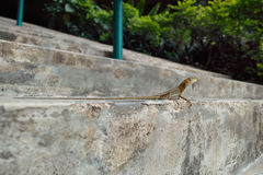 Lizard on stairs Royalty Free Stock Image