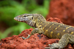 Lizzard On Red Stock Photography