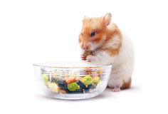 Lois the Hamster Stock Image