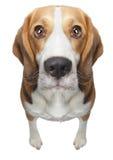 Lokalisierter Spürhundhund Lizenzfreie Stockbilder