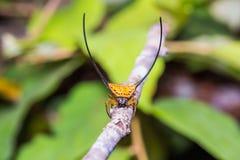 Long-horned Orb-weaver Spider Royalty Free Stock Images