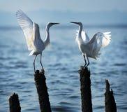 Love egrets Royalty Free Stock Photos
