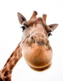 Lustige Giraffe Stockfotos