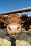 Lustige Kuh Stockfoto